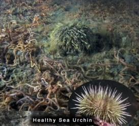 Dying Sea Urchin