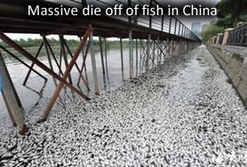 Poissons morts en Chine