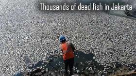 Fish dead in Jakarta