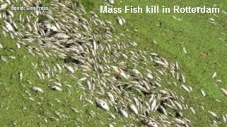 Mass Fish Kill Rotterdam