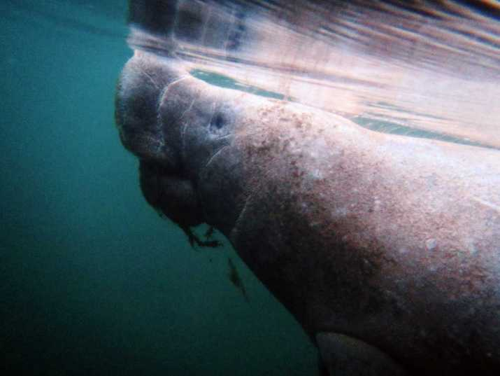 It's possible to sustainably swim with manatees in Florida! From the best tour, when to go, and more, read on to see how you can swim with manatees too.