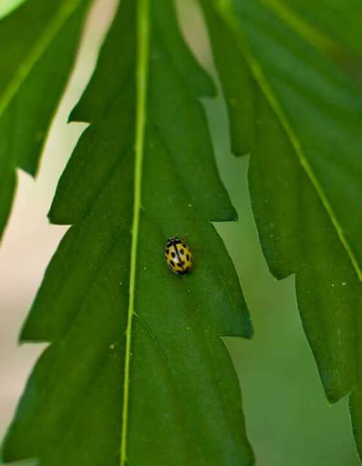 ladybug-hemp-leaf The Endocannabinoid System