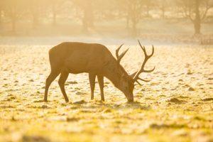 Elk feeding alone.