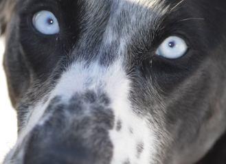 blue eyed sprint racing sled dog eurohound