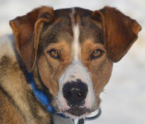 eurohound sprint racing sled dog