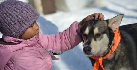 alaskan husky sled dog