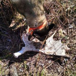 moose antler drop shed