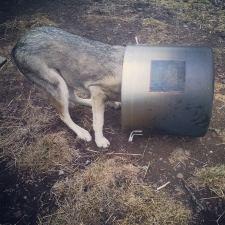 sled dog licking dishes alaskan husky funny dog