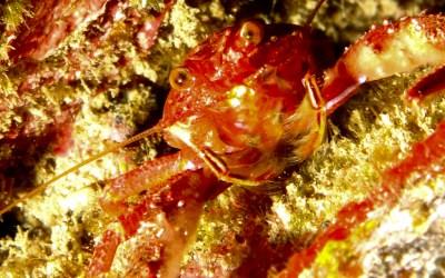 Araña de marisco (Percnon gibbesi)