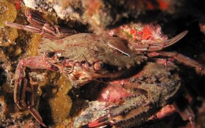 Cangrejo cornudo (Portunus hastatus)