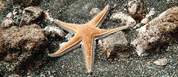 Estrella de mar peine (Astropecten aranciacus)