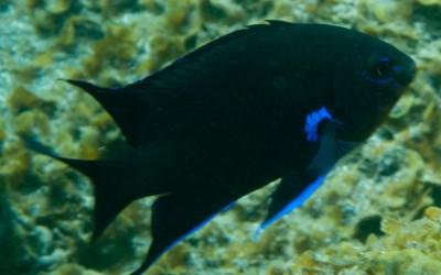Fula negra (Abudefduf luridus)