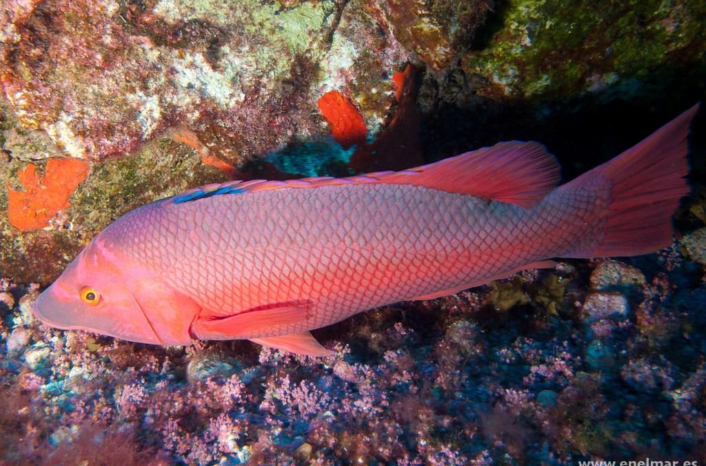 Pejeperro (Bodianus scrofa)