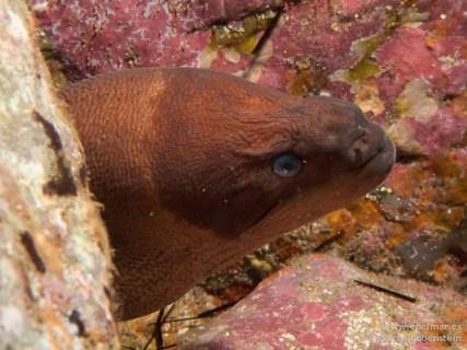 20110206 1323 - Muelle de Porís de Abona, Murión (Gymnothorax unicolor)