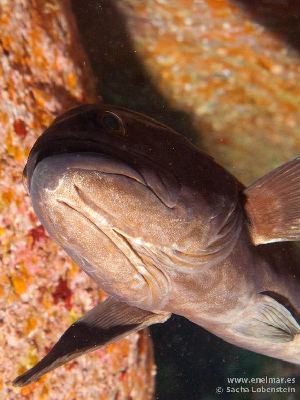 20110214 1207 - Abade (Mycteroperca fusca), El Pirulí