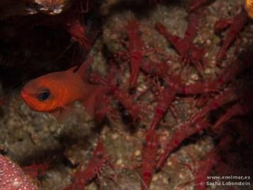 20110217 1043 - Alfonsito (Apogon imberbis), Camarón bailador (Cinetorhynchus rigens), La Herradura