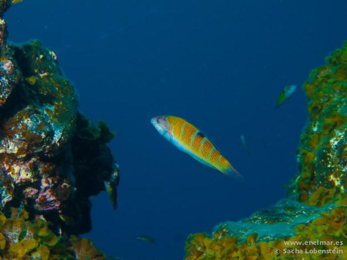 20110307 1303 - Pejeverde (Thalassoma pavo), Teno
