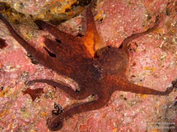 20110308 1134 - La Virgen, Pulpo (Octopus vulgaris)