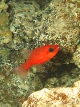 20110312 1315 - Alfonsito (Apogon imberbis), Las Eras