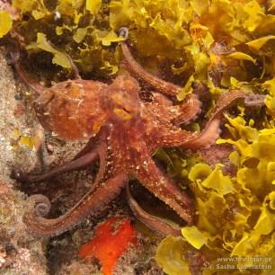 20110413 1625 - Garachico, Pulpo (Octopus vulgaris)-2