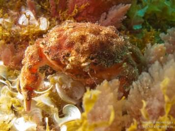 20110421 1616 - Cangrejo esponja (Dromia spp.), Muelle de Porís de Abona-2