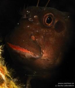 20110501 1123 - Barriguda mora (Ophioblennidus atlanticus), Las Eras