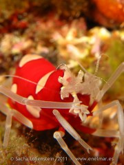 20110515 1007 - Camarón avispa rojo (Gnathophylleptum tellei), Las Eras