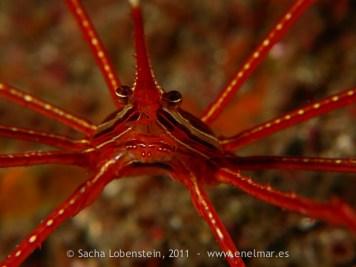 20110515 1047 - Cangrejo araña (Stenorhynchus lanceolatus), Las Eras
