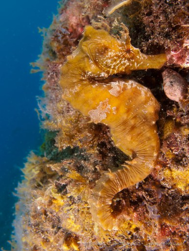 20110528 1633 - Caballito de mar (Hippocampus hippocampus), Punta Prieta