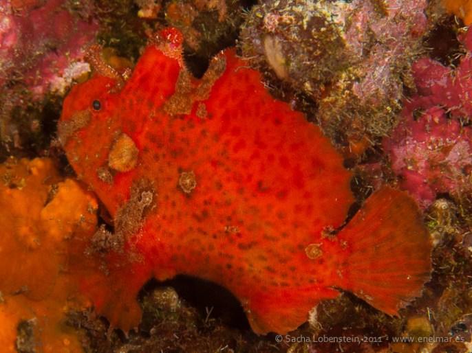 20110528 1650 - Pez esponja o Antenario (Antennarius nummifer), Punta Prieta