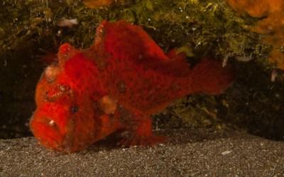 Pez esponja o Antenario (Antennarius nummifer)