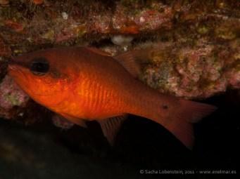 20110528 1702 - Alfonsito (Apogon imberbis), Punta Prieta