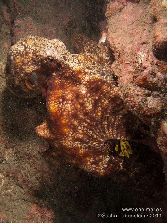 20110702 1218 - Garachico, Pulpo (Octopus vulgaris)