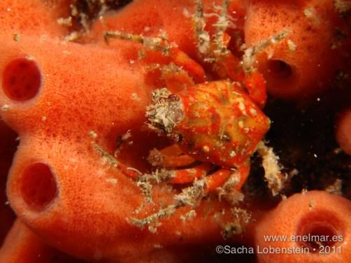 20110709 1139 - Crustáceos, Garachico