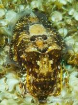 20110728 1539 - Choco (Sepia officinalis), Las Eras