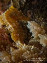 20110731 1213 - Caballito de mar (Hippocampus hippocampus), Teno