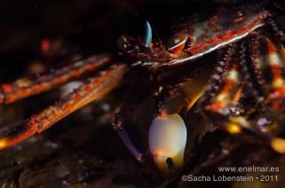 20111015 1653 - Araña de marisco (Percnon gibbesi), Muelle de Porís de Abona