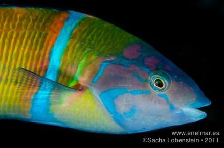 20111022 0936 - Pejeverde (Thalassoma pavo), Teno