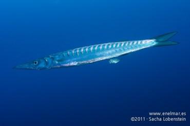 20111113 1240 - enelmar.es - Bicuda - Barracuda (Sphyraena viridensis)