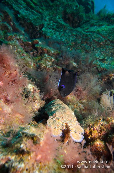 20111226 1155 - enelmar.es - Fula negra (Abudefduf luridus), Langosta canaria (Scyllarides latus), Las Eras