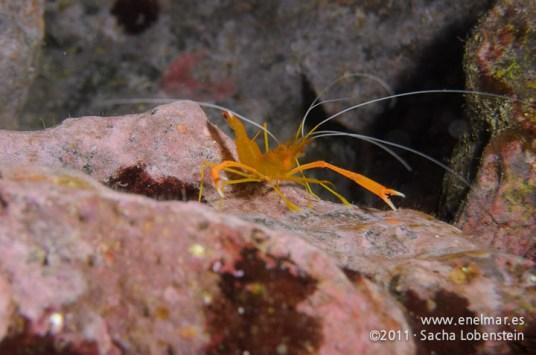 20111226 1357 - enelmar.es - Camarón espinoso (Stenopus spinoso), Punta de Abona en El Porís