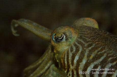 20120106 1905 - enelmar.es - Choco (Sepia officinalis), Muelle de Porís de Abona-3