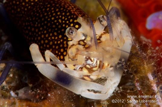 20120108 1349 - enelmar.es - Camarón de lunares (Gnathophyllum elegans), Las Eras