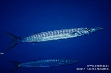 20120114 0959 - enelmar.es - Bicuda - Barracuda (Sphyraena viridensis), Muelle de Garachico