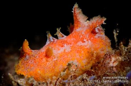 20120115 1409 - enelmar.es - Babosa de mar (Plocamopherus madeirae), Punta Prieta