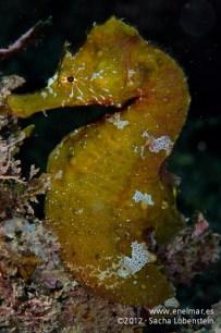 20120115 1443 - enelmar.es - Caballito de mar (Hippocampus hippocampus), Punta Prieta