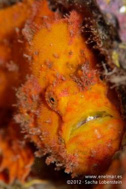 20120121 1047 - enelmar.es - Antenario o Pez esponja (Antennarius nummifer), Las Eras