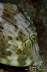20120128 1724 - enelmar.es - Gallo Verde o Gallito (Stephanolepis hispidus), Muelle de Porís de Abona