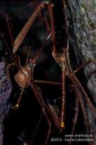20120128 1800 - enelmar.es - Cangrejo araña (Stenorhynchus lanceolatus), Muelle de Porís de Abona