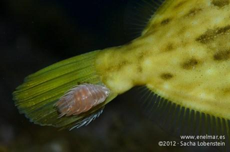 20120202 1812 - enelmar.es - Gallo Verde o Gallito (Stephanolepis hispidus), Piojo - Cochinilla (Nerocila armata), Punta Prieta